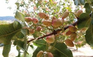 Il pistacchio di Stigliano